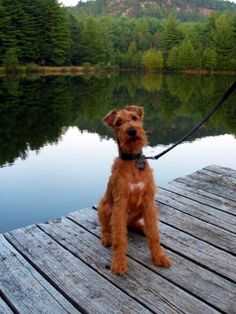 Irish terrier by a lake