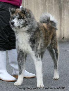 IBUKI GO Inu, Akita, Husky, Dogs, Animals, Sunrise, Animales, Animaux, Pet Dogs