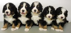 Pasturegreen Bernese Mountain Dogs Our Puppies Page