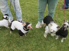 These dogs will dressed in wool fiber craft at last year's Trailing of the Sheep Folk Festival. #travel #dog #festival