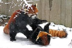 Red pandas wrestling in the snow