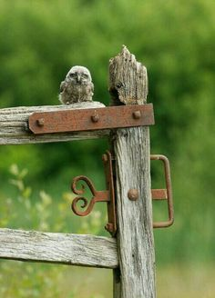 yes-iamredeemed: Little owl chick on gate post ♥. 'OWL' let you in. Country Charm, Country Life, Country Living, Country Walk, Country Fences, Old Fences, Beautiful Owl, Little Owl, Mundo Animal