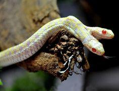 A two-headed albino garter snake