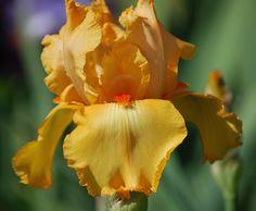 TB Iris germanica 'Glazed Orange' (Schreiner, 1969)