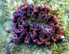 Elysia diomedea Best one so far!- Elysia diomedea Best one so far! Elysia diomedea Best one so far! Underwater Creatures, Ocean Creatures, Underwater World, Beautiful Sea Creatures, Under The Ocean, Sea Anemone, Sea Snail, Sea Slug, Saltwater Tank