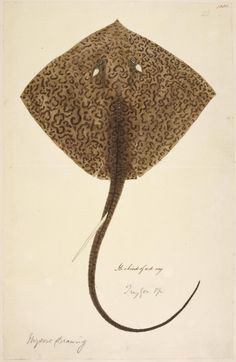Illustration of a  ray from The British Library