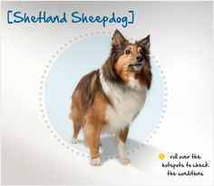 Did you know the Shetland Sheepdog traces its roots back to the Border Collie of Scotland? Read more about this breed by visiting Petplan pet insurance's Condition Checker!