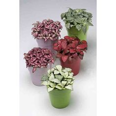 Fittonia - Snakeskin Plant
