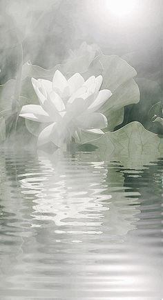 White Lotus (Sanskrit Pundarika) The second meaning of a Lotus flower in Buddhism: it resembles the purifying of the spirit which is born into murkiness.