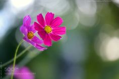 Thy Love Scattering Joy From Cosmos II by sypaik. @go4fotos