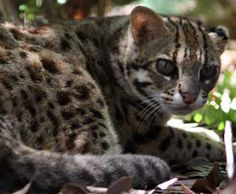 Leopard Cats - Weighing in at 6-15 pounds and reaching lengths of 35-38 inches, this is the most common cat of Southern Asia. It is similar in overall size and shape to the domestic cat, but it has longer legs. Its coat has a great deal of variation in its color throughout its range, and tends to be yellowish-brown in the tropics and grayish-brown in the northern part of its range. The coat is dotted with black spots, which sometimes are solid and sometimes rosettes. The tail is banded with…