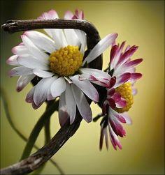 daisy chained by ~SvitakovaEva