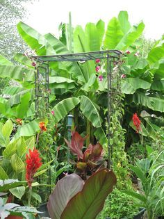 Tropical plants in zone 6 - yes you can grow/overwinter on Pinterest