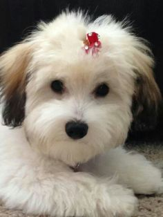 Everything About The Funny Havanese Puppies Personality Havanese Grooming, Havanese Puppies, Teacup Puppies, Dog Grooming, Cute Puppies, Dogs And Puppies, Havapoo Puppies, Cavachon, Maltipoo