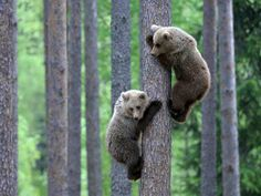 Two European brown bear (Ursus arctos) cubs climbing pine tree in taiga forest, Martinselkonen, Finland.