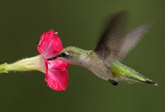 Ruby Throated Hummingbird   Flickr - Photo Sharing!