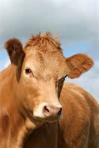 7% of those surveyed (by the Innovation Center for U.S. Dairy) believe chocolate milk comes from brown cows. I know, right! Even this cow is having trouble believing it!