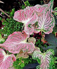 Caladium 'Thai Beauty': This caladium thrives in partial shade, tolerating up to half a day of sunlight (which actually improves its color). The leaves emerge green in spring, but quickly begin assuming their bright, eye-catching hues that holds up nicely Beautiful Flowers, Shade Plants, Fall Flowers, Trees To Plant, Shade Garden, Caladium, Perennials, Plants, Planting Flowers