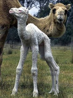 She's all legs! - Baby albino camel Ula with mother Leah at Jindera camel stud farm. She is one of only four known albino camels in the world. - The Courier-Mail. - Picture: The Border Mail NSW / Animal & Wildlife Centre Rare Albino Animals, Unusual Animals, Animals Beautiful, Cute Baby Animals, Animals And Pets, Funny Animals, Funny Horses, Camelus, Baby Camel