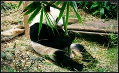 #Panda #busy