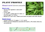 Sheep's Sorrel - plant profile (common weed)