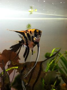 This is my Koi veil angelfish, she and her mate just spawned so I'm hoping to have babies in a few days