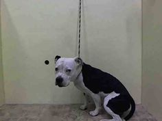 TO BE DESTROYED - 07/07/14 Manhattan Center   My name is HIBBERT. My Animal ID # is A1004128. I am a male black and white pit bull mix. The shelter thinks I am about 4 YEARS old....