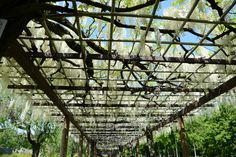 Roof of Japanese wisteria