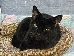 Meet Bubbles a Petfinder adoptable Domestic Short Hair-black Cat   Huntington, NY   Bubbles is a playful and affectionate young black female cat.  This poor boy was abandoned by his...