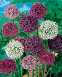 Allium 'Big Impact' - add height to your borders with this easy to grow allium.