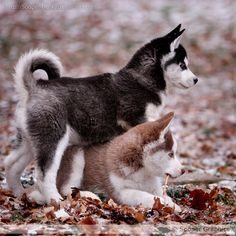 I have always wanted a husky