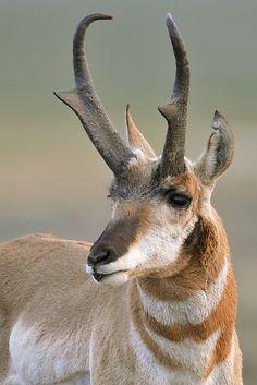 Wildlife Image of the Week for the week ending September 28th, 2012: D. Robert Franz - Close-up pronghorn