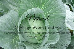 6 Natural Cabbage Worm Control ... 1/4 c. vinegar + 3/4 c. water + 1 t. soap, sprayed on top and bottom of leaves ... and other ideas.