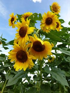 I Love Sunflowers! ❀❀‿ •*´¯❀