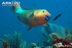 Looking for Rainbow parrotfish photos? View all of Arkive's Rainbow parrotfish photos - Scarus guacamaia Puffins Bird, Parrot Fish, Beautiful Sea Creatures, Underwater Life, Ocean Creatures, Sea Fish, Tropical Fish, Marine Life, Betta