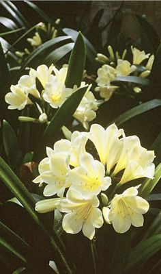 Growing feeding, Plant Care of Clivias