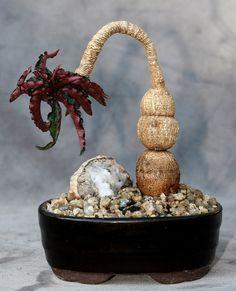 Euphorbia cremersii | par ktvamp
