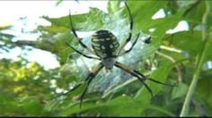 Although the brown recluse spider shares the garden with the famous black widow, did you know, of the two spiders, the brown recluse is more aggressive and more likely to bite? Or did you know the garden spider can easily handle prey larger than itself? In this video segment from Garden Insects, learn about six varieties of spiders that live in one garden. Of the six types, garden, black widow, brown recluse, wolf, crab, and jumping, each has its own unique characteristics and role to ...