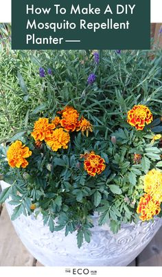Gardening For Beginners DIY MOSQUITO PLANTER - Summers are for beaches, BBQ's and mosquito's. Those little suckers love me and I've tried everything to keep them away. Nothing has worked until now. Here's how to DIY A Mosquito Repellent Planter. Organic Gardening, Plants, Garden, Lawn And Garden, Gardening For Beginners, Outdoor Plants, Marigolds In Garden, Container Gardening, Gardening Tips