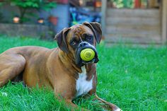 """Apparently lots of Boxers think """"Fetch"""" means """"MINE"""", heh"""