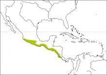 White-throated Magpie-jay (Calocitta formosa)