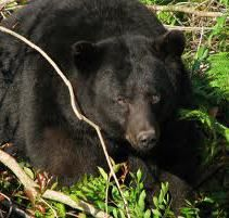Tips for Spot-Stalk Black Bear Hunting The most underrated huntis for trophy-class fall black bears. There's this misconception out there that hunters can just walk up on them. That's just false. They're one of the toughest trophy ani. Moose Hunting, Big Game Hunting, Hunting Tips, Big Bear Camping, Camping In Tennessee, American Black Bear, American Chestnut, Hedgehog Pet, Wildlife Nature