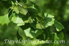 Gingko Tree Leaves Photography Card or Print by CinnamonandSilver