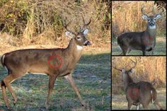 Deer Hunting Shot Placement - Where to Shoot a Deer or Other Large Animal: The circles show where to shoot this whitetail buck to make a clean kill when broadside (left), quartering towards you (top right), and quartering away (bottom right).