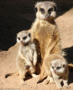 The two tiny meerkat pups who have been born at Taronga Zoo in Sydney stand alongside thei...