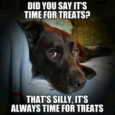 Treats please! Chuckie the Chocolate Lab #TeamChuckie