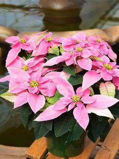 Hot Pink | Princettia Natural Phenomena, Poinsettia, Color Combos, Christmas Holidays, Beautiful Flowers, Hot Pink, Cheer, Flora, Seeds