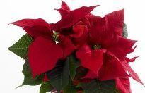 Julestjerne, rød flergrenet Plants, Flora, Plant, Planting