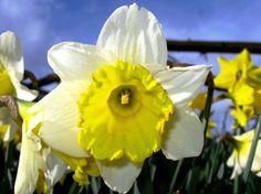 Precioso narciso en vuestro jardín