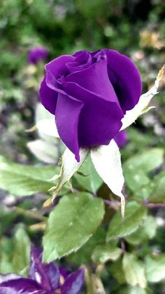 Beautiful Rose Flowers, Beautiful Gardens, Most Beautiful, Purple Flowers, Plants, Beauty, Sunflowers, Beautiful Roses, Beautiful Flowers